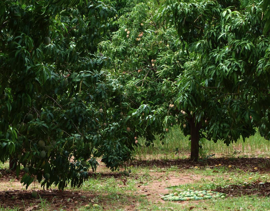 COOPAKE-parcelle-mangue-ethiquable