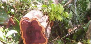 bois de rose coupe sauvage