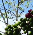 sol y cafe Pérou ethiquable