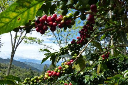 agriculture café bio